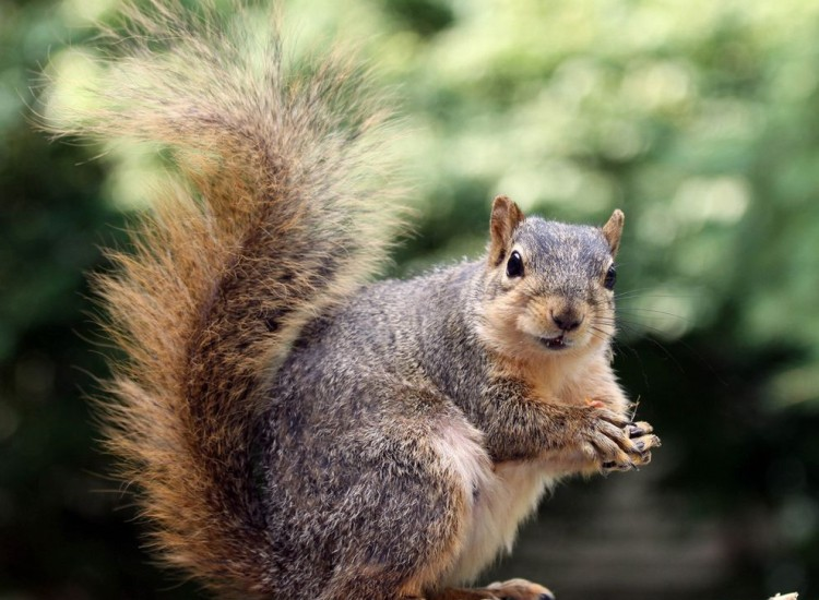 eastern_fox_squirrel_holds_nut.jpg.990x0_q80_crop-smart.jpg
